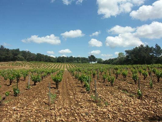 Le vignoble - Lieu-dit Pignan