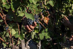 2015 wine harvest